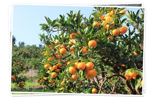 日本一美味しいみかんをつくる減農薬・完熟栽培のマルヨ農家