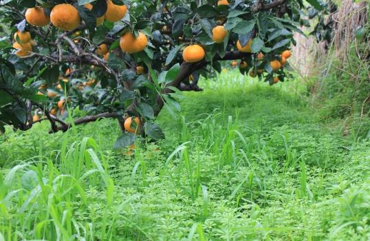 美味しい蜜柑のためには雑草も